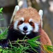 a-really-cute-red-panda