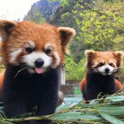qing-cheng-mountain-china-010_panda-ark-a